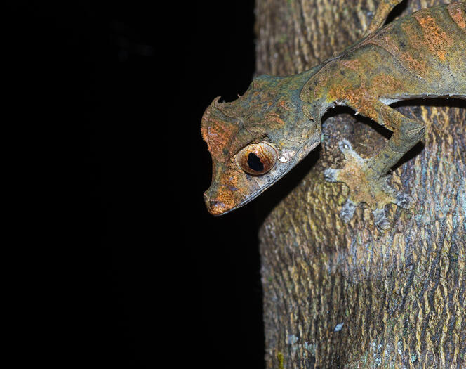 a leaf tailed gecko