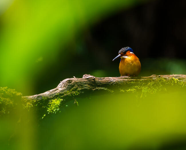 a madagascar kingfisher